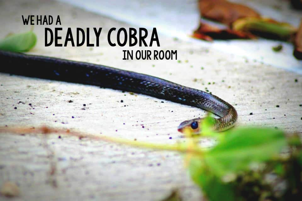 On one of our trips to Thailand, we found a cobra in our room just before going to bed. Read all about what happened here