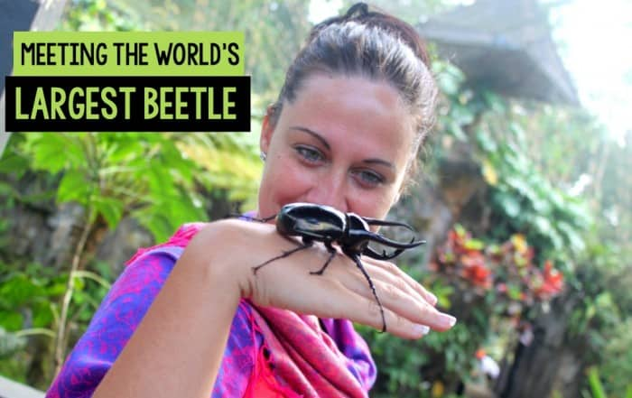Meeting the world's largest beetle in Indonesia