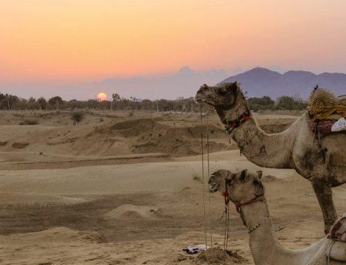 How to plan an unforgettable camel safari in Pushkar